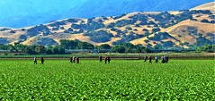 Weeding (Michael T. Morales) Tags: agriculture salinasvalleyagriculture harvest soil farmworkers