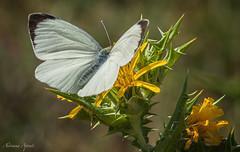 bianco, giallo e verde (adrianaaprati) Tags: caffarella cardi fiori colori giallo bianco verde farfalla ali macro parco estate luglio sfocatura