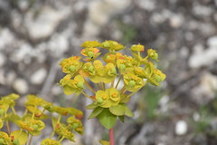 Euphorbia (esta_ahi) Tags: lescabòries flor flora flores silvestres avinyonet penedès barcelona spain españa испания euphorbia euphorbiaceae