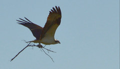 Everglades NP | 2017.12.02 | Osprey (Kaemattson) Tags: everglades evergladesnationalpark evergladesnp homestead miami fl florida homesteadfl miamifl osprey pandionhaliaetus