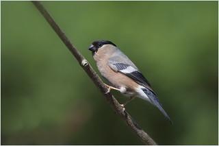Bullfinch ( f )