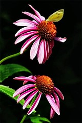 Echinacea With a Butterfly (Dino Langis) Tags: flowers onblack macro