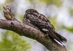 Common Nighthawk (bbatley) Tags: commonnighthawk