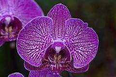phalaenopsis photo (kiki nagi) Tags: flowers orchids phalaenopsis macro nikond750