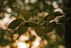 Buchenzweig_ (lotharmeyer) Tags: nature lotharmeyer gegenlicht konturen natur buchenblatt