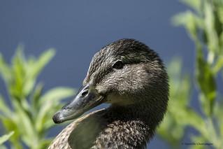 DBC_7270 canard colvert - femelle
