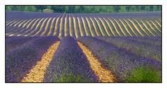 Les sillons bleus -  The blue furrows (diaph76) Tags: france extérieur paysage landscape champs fields lavande lavender sillons furrows graphisme vaucluse provence