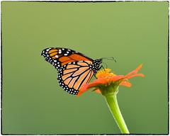 Monarch (EXPLORE, July 20 2018, #87) (RKop) Tags: nikkor600f4evr 14xtciii raphaelkopanphotography kentucky carrolcounty