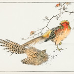 Golden Pheasant and Flower of Japanese Quince illustration from Pictorial Monograph of Birds (1885) by Numata Kashu (1838-1901). Digitally enhanced from our own original edition. thumbnail