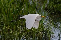 Great White Egret 14-07-2018-1521 (seandarcy2) Tags: herons egret great white fenland reedbeds ham wall rspb somerset levels uk bif