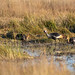 Grey crowned crane (Balearica regulorum), Hwange National Park, Zimbabwe