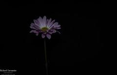 The Daisy (RCorsmeier) Tags: flower flowers flowerstagram flowersofinstagram flowerstalking flowerlove flowergram flowerphotography flowersmakemehappy flowerlover flowerart flowermagic blooooms inspiredbypetals petalsandprops flowerfriday simplyflowers floralphotography floraldesign floralstyling floralarrangement floraldesigner slowfloralstyle floralfix floralfriday florallove florallife floraladd pink emoji awesomeflorals igdiscoverpetals allthingsbotanical botanicalpickmeup botanicalbeauty justbefloral botanicaldaydreams ohio photooftheday landscapephotography igers igercincinnati instaohio nikon nikond750 nikonphotography nikonphotographer procam procamcincinnati country american americanstyle nikonnofilter ohioexplorers