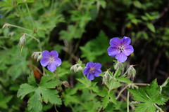 Hill Geranium | Valley of Flowers (arnabchat) Tags: india uttarakhand himalayas valleyofflowers valleyofflowersnationalpark nationalpark nature mountains hills monsoon trek trekking flowers flora blossom arnabchat 2018 july2018 hillgeranium geraniumcollinum