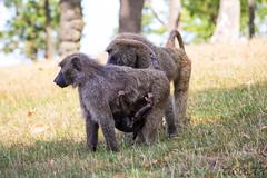 Baboons family (Yohan Dochev) Tags: baboon monkey animal safari baby green nature wild ngc jungle family