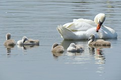 Swan Mum And Babies! ('cosmicgirl1960' NEW CANON CAMERA) Tags: cygnets young juvenile chicks babies swans white downy water nature llanfairfechan cymru wales snowdonia eryri gwynedd north yabbadabbadoo