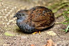 Quail (42jph) Tags: stratforduponavon stratford upon avon uk england warwickshire bird wildlife quail nikon d7200 105mm f28g edif afs vr micro lens
