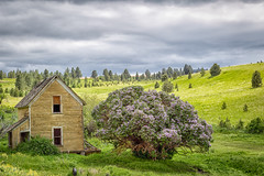A Lilac Bigger Than A House (D E Pabst Photography) Tags: peola neglected abandoned southeastwashington decay house garfieldcounty lilac landscape
