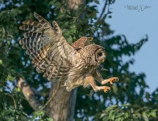 Barred Owl Landing in Trees.jpg