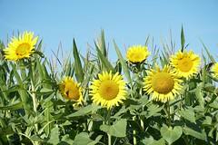 Sonnenblumen (st.ri1) Tags: sonya6300 sommer sonnenblumem flowers flora blumenwiese blume blüte blüten blumenfeld landschaft landscape sony