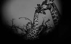 love is in the air (paologmb) Tags: africa bn pattern safari nature skin explore zimbabwe together bush nationalgeographic future love tender wild couple freedom giraffe animals family blancnoir amore ngc