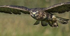 Buzzard (wild) - Inpressive to the eye., but a killer (Ann and Chris) Tags: avian amazing awesome bird eyes feathers flying gliding hunting hunt hawk buzzard impressive incoming looking majestic outdoors predator raptor stunning visceral wildlife wild wings