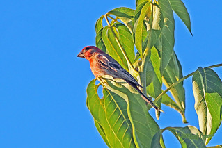 House Finch 18-0714-7325