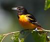 Baltimore Oriole _53F0585-Edit (~ Michaela Sagatova ~) Tags: dundasvalley baltimoreoriole birdphotography canonphotography michaelasagatova oriole