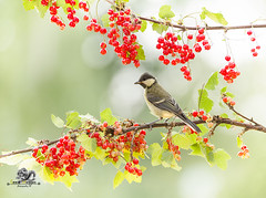 great tit is standing on a red currant branch (Geert Weggen) Tags: animal animalbodypart animaleye animalskin backlit backgrounds berry bird branchplantpart bright bunch bush closeup currant cute eye food freshness fruit greattit harvesting hiding horizontal humor hypnosis juicy leaf nature organic peeking photography plant red redcurrant ripe season shiny songbird sourtaste staring summer sun sweden titmouse watching bispgården jämtland geert weggen ragunda hardeko