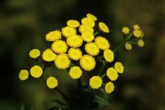 Wild Flower (Hugo von Schreck) Tags: rainfarn tanacetumvulgare hugovonschreck flower blume blüte macro makro canoneos5dsr givemefive tamron28300mmf3563divcpzda010