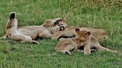 Lion Cubs Playing (Susan Roehl) Tags: botswana2013 moremigamereserve botswana southernafrica okavangodelta lion cubs pantheraleo landunderthreat countryfullofrivers davidlivingstone batawanapeople chiefmorelliiiiandwife namedin1963 oldestfirstprotectedreserveinthedelta reservenamedafterbatawanatribe mostdiversereserves fewerthan5000kilometers 1900squaremiles mopanewoodland acaciaforests floodplains lagoons 30ismainland bulkbeingokavangodelta sueroehl photographictours naturalhabitatadventures guidedaveluck pentaxk3 sigma150500mmlens handheld grass wrestling ngc coth5