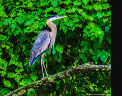 2018.06.23.9679 GBH (Brunswick Forge) Tags: 2018 grouped bird birds animal animals outdoor outdoors nature wildlife nikond500 tamron150600mm water commented favorited