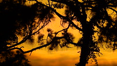 Sunset Silhouette (Jim Mullhaupt) Tags: sunset sundown dusk sun evening endofday sky clouds color red gold orange pink yellow blue tree palm outdoor silhouette weather tropical exotic wallpaper landscape nikon coolpix p900 jimmullhaupt manateecounty bradenton florida cloudsstormssunsetssunrises photo flickr geographic picture pictures camera snapshot photography nikoncoolpixp900 nikonp900 coolpixp900