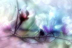 Day 182. Magnolia in cool colors (Small and Beautiful) Tags: magnolia cool paint macro abstract flower tree smallandbeautiful