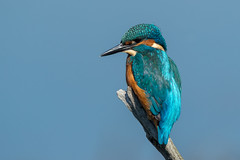 Kingfisher (Simon Stobart) Tags: england unitedkingdom gb kingfisher alcedo atthis northeast coth5 ngc npc naturethroughthelens