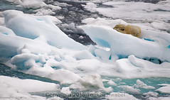 Please, just a little more sleep! (pdxsafariguy) Tags: wildlife svalbard arctic animal snow predator ice nature cold polar north bear water spitsbergen white sea floe fur ocean polarbear climate iceberg paws environment rolling female driftice storfjorden ursusmaritimus tomschwabel