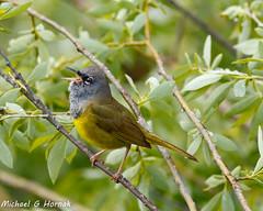 MacGillivrays Warbler (mghornak) Tags: macgillivrayswarbler warbler bird wildlife nature canon canoneos7dmarkii grandtetonnationalpark nationalpark oxbowbend june2017