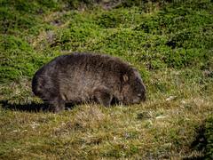 Cradle Mt. (10 of 12) (uxbobham) Tags: australia cradlemountain tasmania wildlife wombat