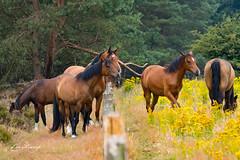 Horses (Leo Kramp) Tags: 2018 oudreemst paarden veluwe wandelen loweproflipside300awii horses flickr accessoires websitedieren leo kramp leokramp wwwleokrampfotografienl leokrampfotografie