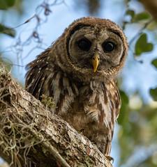 Barred owl at the Orlando Wetlands. (lantanact) Tags: barred owl orlando wetlands