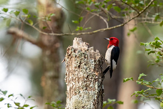 Red headed woodpecker