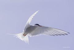 Arctic Tern (jonny.andrews65) Tags: arctic tern point of ayre isleofman nikon d7200 200500 vr