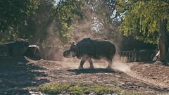 0760 (dejfex) Tags: polska poland photo dejfex dawid wereszczyński sony slta57 a57 zoo warszawa warsaw hippo summer safari animals tree animal soil grass landscape outdoor