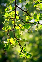Bring your own Sunshine (barbara_donders) Tags: summer zomer zonneschijn zonlicht sunlight lichtinval natuur nature bokeh green groen tree boom leaves bladeren brench tak mooi prachtig beautiful magical