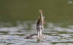 Juvenile Great Crested Grebe (Mick Erwin) Tags: juvenile great crested grebe