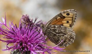 Grayling - Hipparchia semele