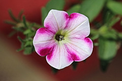 Red and White Flower Macro (hbickel) Tags: flower white red macro photoaday pad canont6i canon