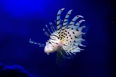Luna lionfish (Pterois lunulata) of Enoshima Aquarium, Fujisawa : ミノカサゴ(藤沢市・新江ノ島水族館) (Dakiny) Tags: 2018 summer july japan kanagawa fijisawa shonan coast enoshima kataseenoshima aquarium enoshimaaquarium city street creature fish underwater blue macro bokeh nikon d750 tamron 35mm f18 tamronsp35mmf18divcusd tamronsp35mmf18divcusdmodelf012 sp35mmf18divcusd sp35mmf18divcusdmodelf012 modelf012