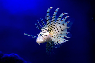 Luna lionfish (Pterois lunulata) of Enoshima Aquarium, Fujisawa : ミノカサゴ(藤沢市・新江ノ島水族館)