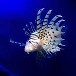Luna lionfish (Pterois lunulata) of Enoshima Aquarium, Fujisawa : ミノカサゴ(藤沢市・新江ノ島水族館) thumbnail