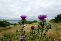 Spear Thistle (nz_willowherb) Tags: spearthistle circsiumvulgare blackaphids scotland fife wormit arable weeds walk fields flora